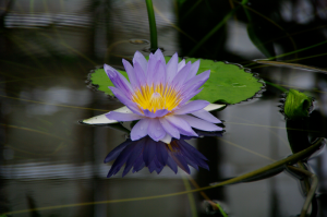 Water Lily, nature is beautiful with essential oils