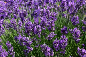 Lavender Essential Oil Hair Care - Best Essential Oil Tips